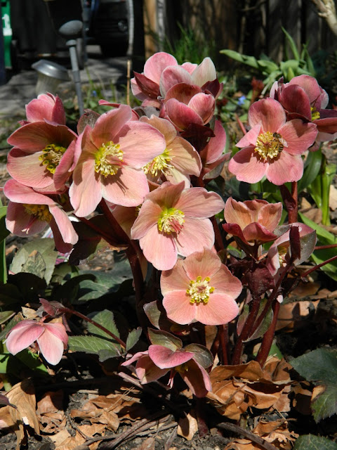 &quot;Pink Frost&quot; Hellebore spring blooms by garden muses: a Toronto gardening blog